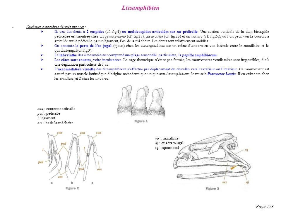 Lissamphibien Page 123 Quelques caractères dérivés propres :