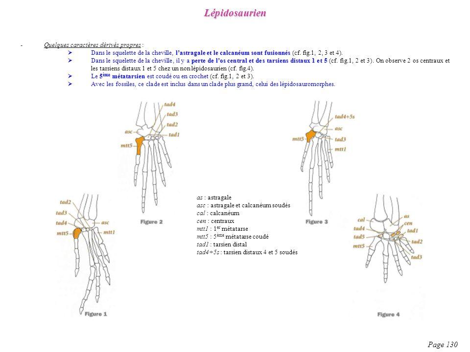 Lépidosaurien Page 130 Quelques caractères dérivés propres :