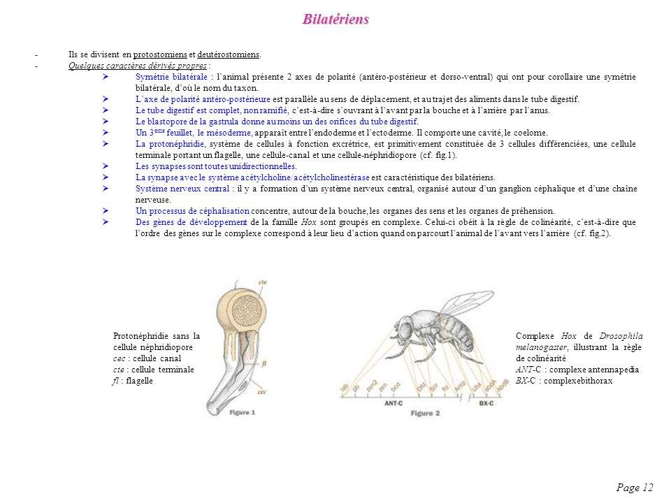 Bilatériens Ils se divisent en protostomiens et deutérostomiens. Quelques caractères dérivés propres :