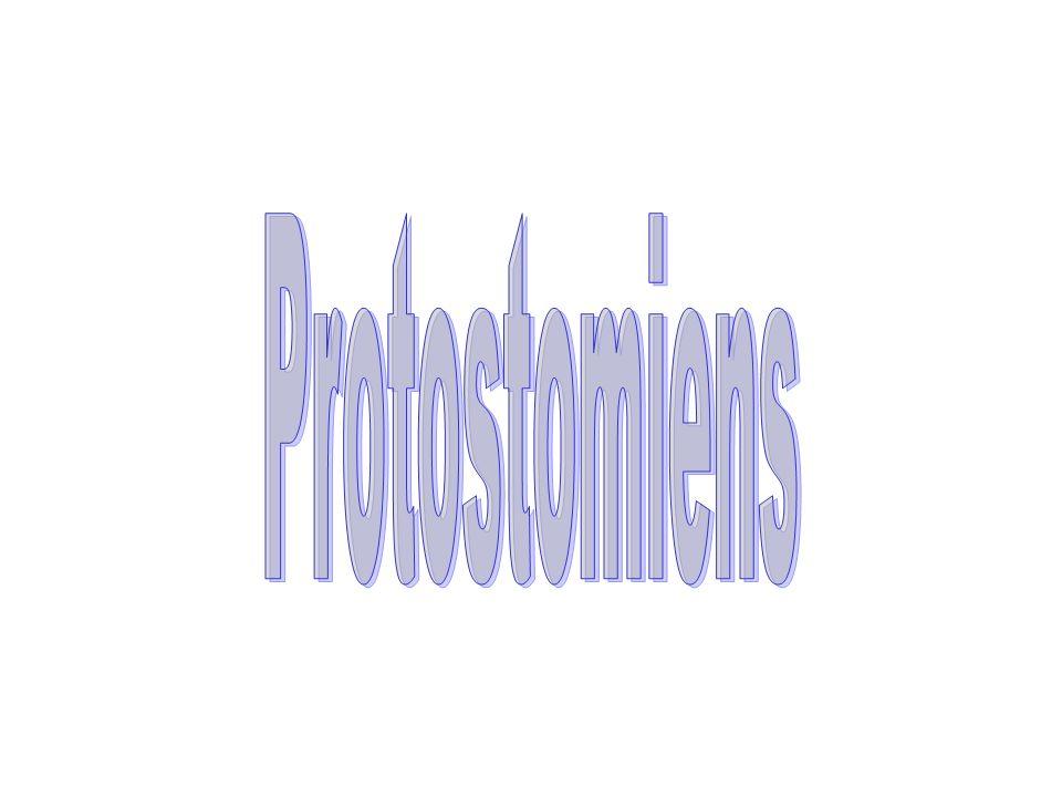 Protostomiens