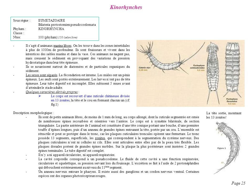 Kinorhynches Page 25 Sous règne : EUMETAZOAIRE