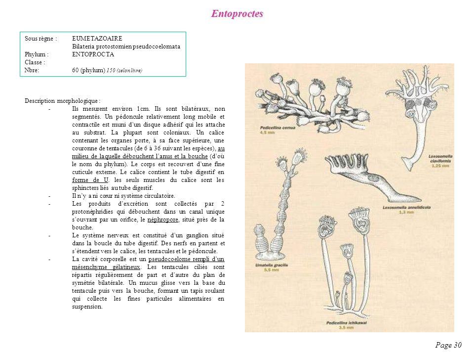 Entoproctes Page 30 Sous règne : EUMETAZOAIRE