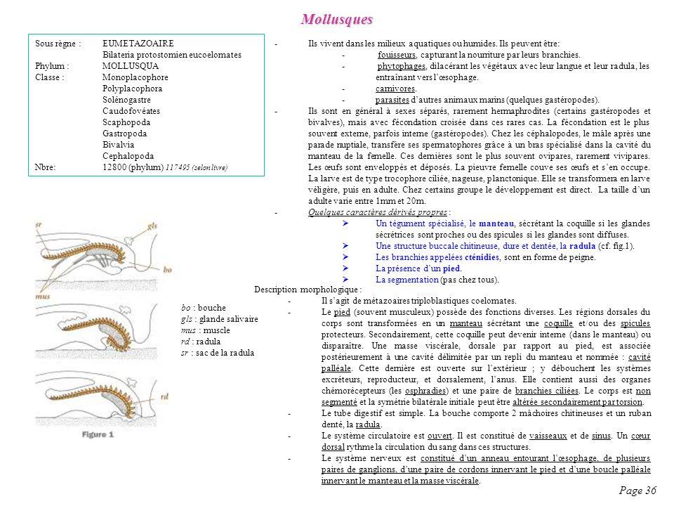 Mollusques Page 36 Sous règne : EUMETAZOAIRE