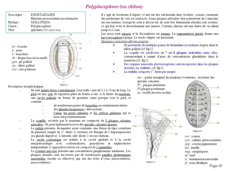 Polyplacophore (ou chiton)