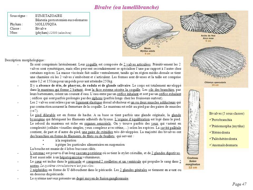 Bivalve (ou lamellibranche)