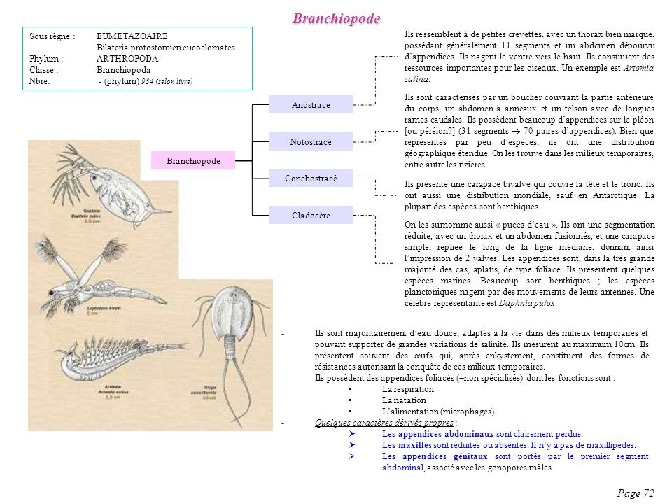 Branchiopode Page 72 Sous règne : EUMETAZOAIRE