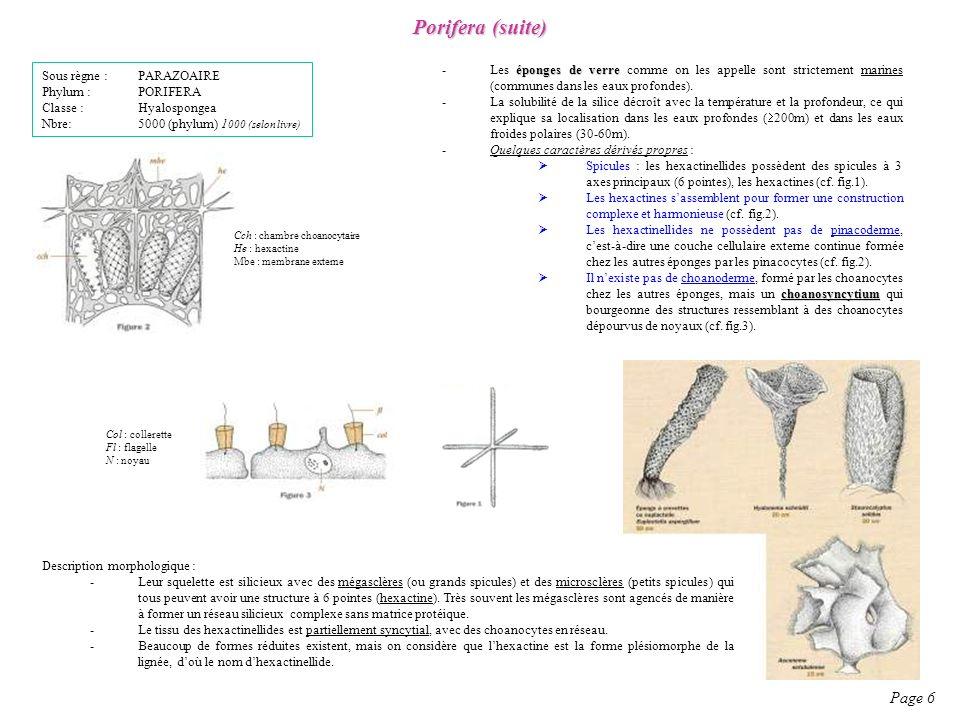 Porifera (suite) Sous règne : PARAZOAIRE. Phylum : PORIFERA. Classe : Hyalospongea. Nbre: 5000 (phylum) 1000 (selon livre)