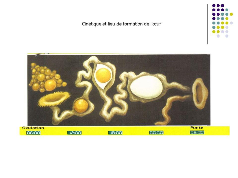 Cinétique et lieu de formation de l'œuf