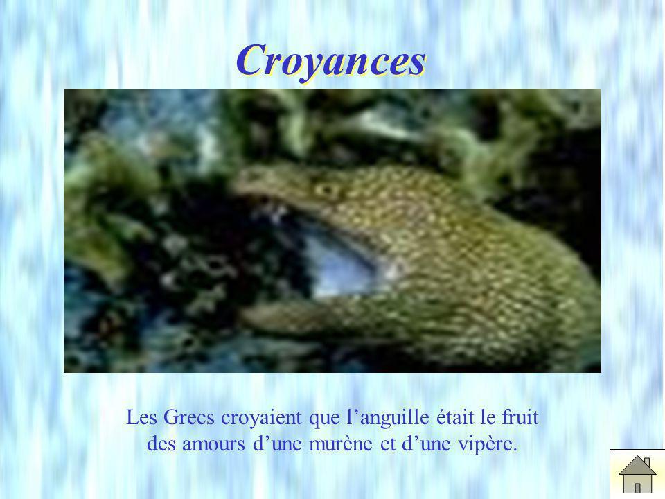 Croyances Les Grecs croyaient que l'anguille était le fruit des amours d'une murène et d'une vipère.