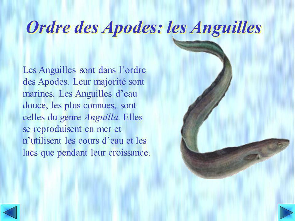Ordre des Apodes: les Anguilles