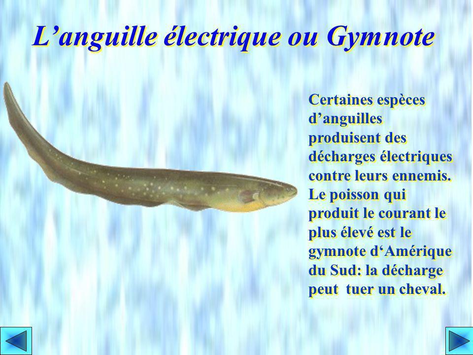 L'anguille électrique ou Gymnote
