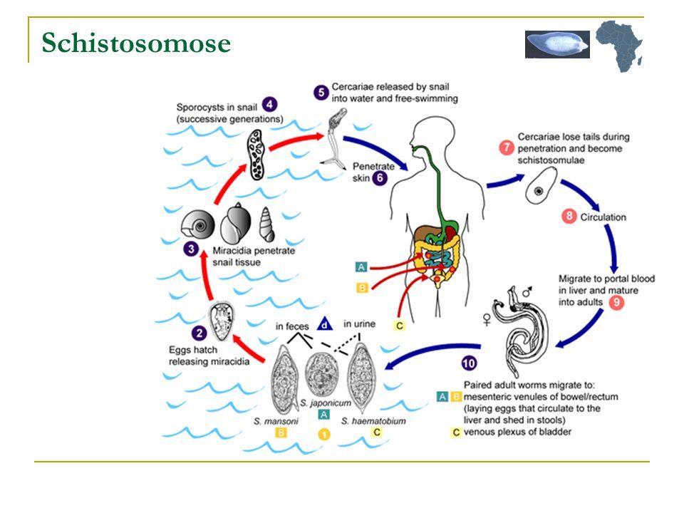 Schistosomose Cutané, circulation sg, veine porte foie : adulte soit veine mésentérique soit veine vessie.