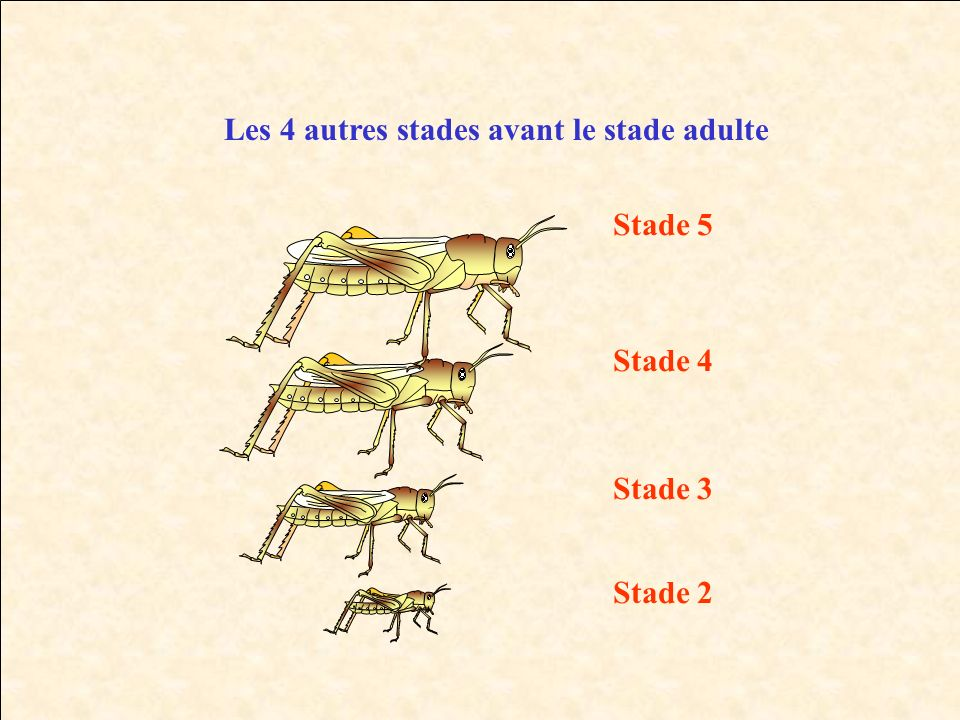 Les 4 autres stades avant le stade adulte