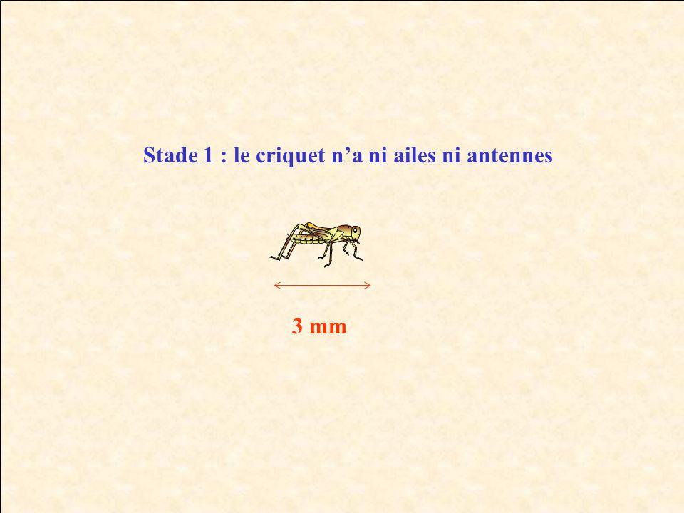 Stade 1 : le criquet n'a ni ailes ni antennes