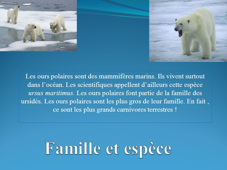 Les ours polaires sont des mammifères marins