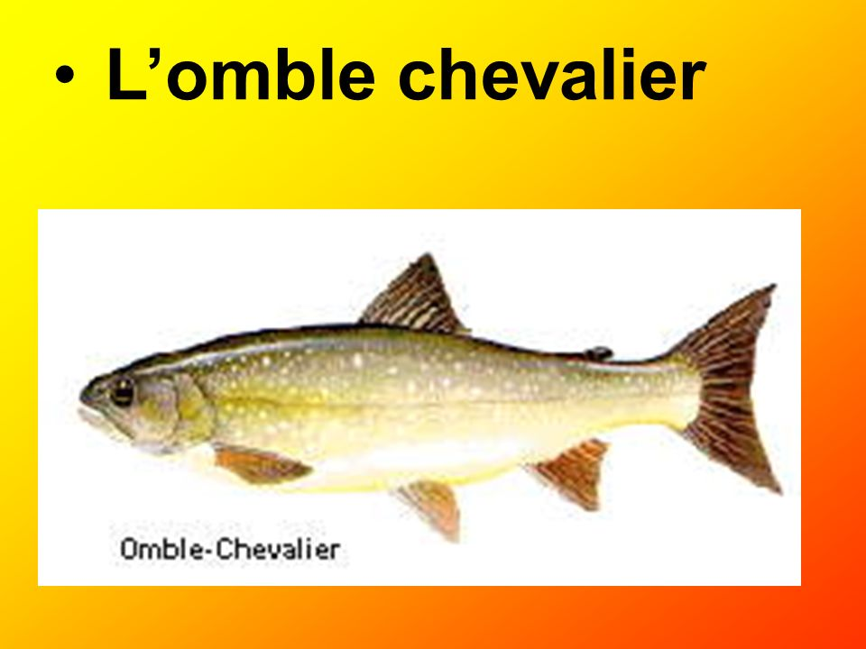 L'omble chevalier