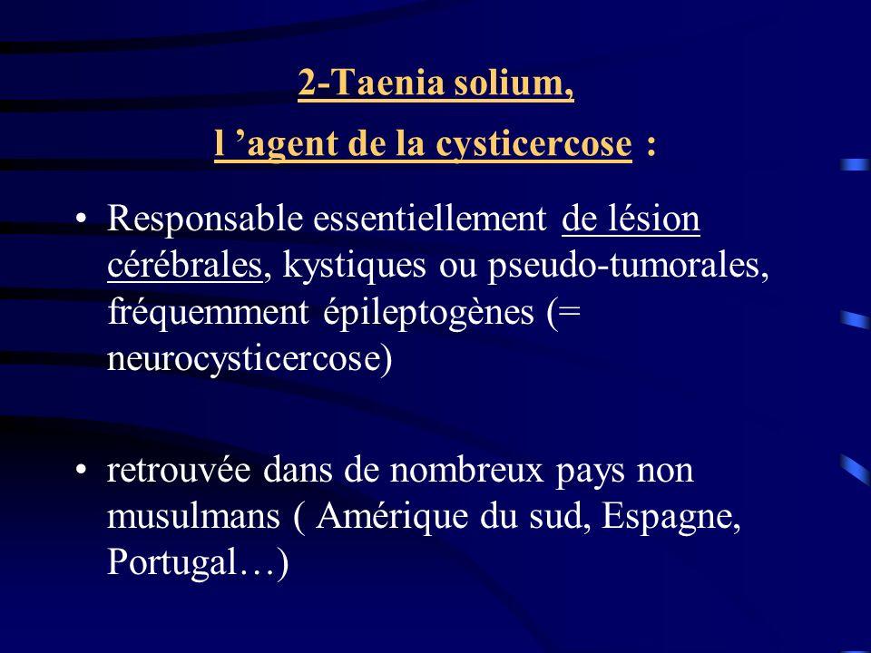 2-Taenia solium, l 'agent de la cysticercose :