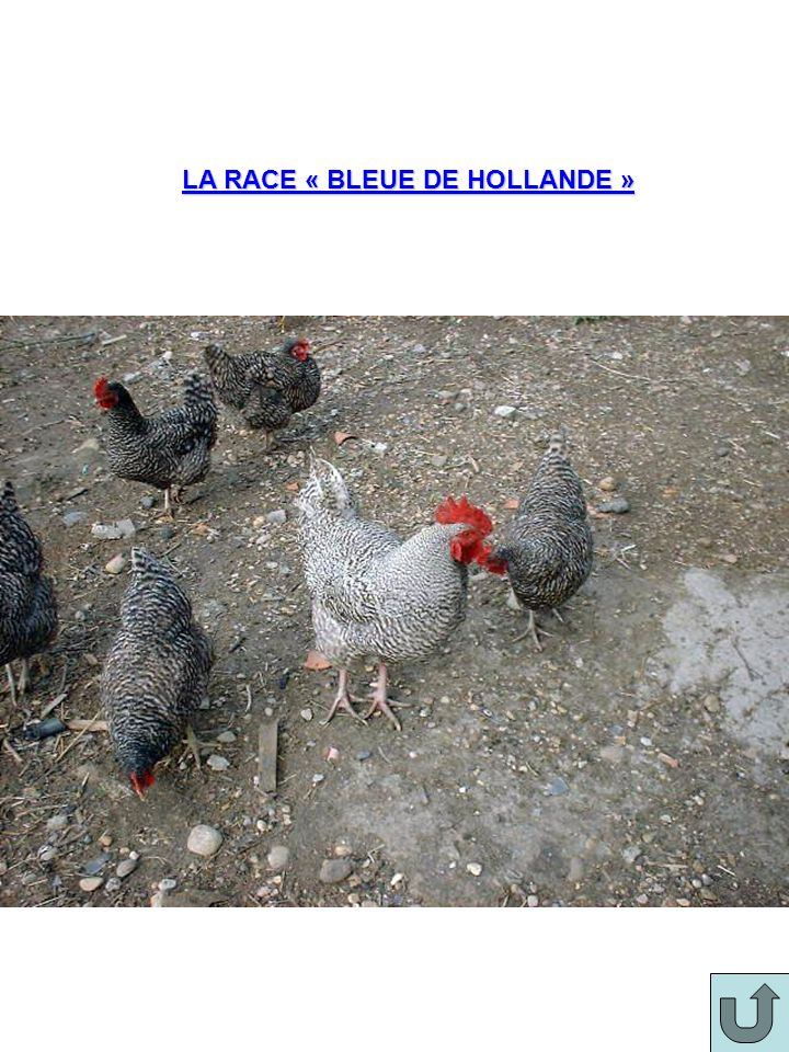 LA RACE « BLEUE DE HOLLANDE »