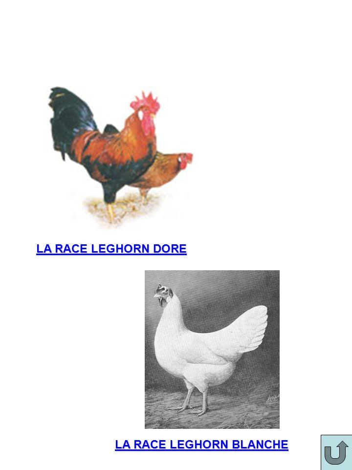 LA RACE LEGHORN BLANCHE