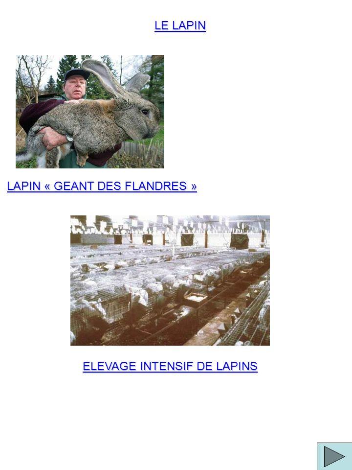LAPIN « GEANT DES FLANDRES »