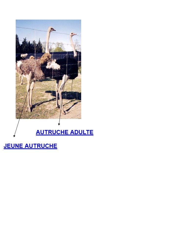 AUTRUCHE ADULTE JEUNE AUTRUCHE