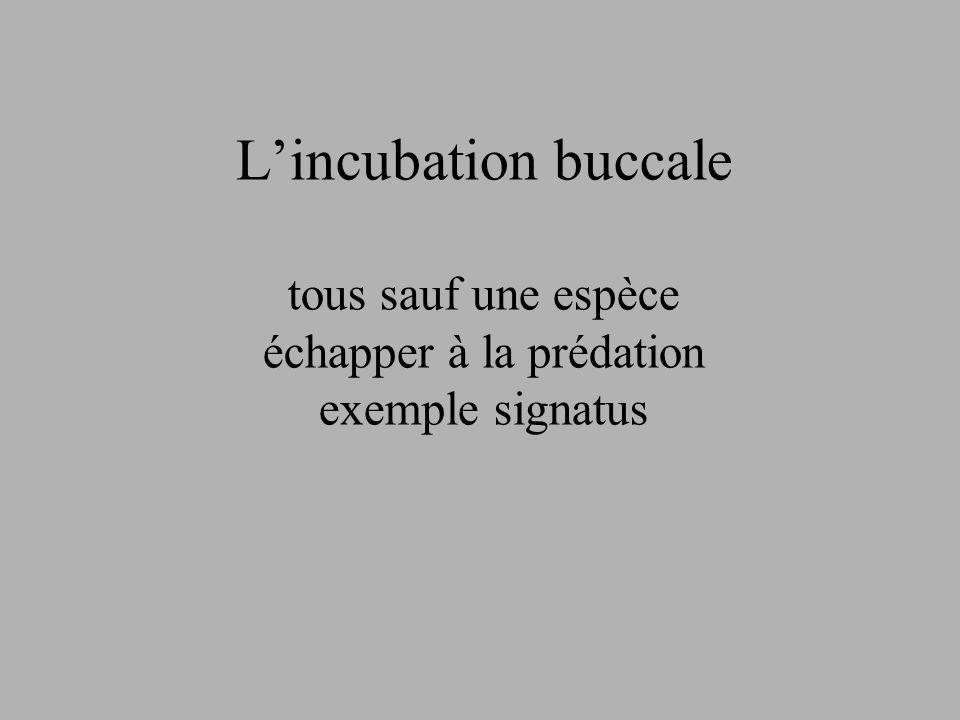 L'incubation buccale tous sauf une espèce échapper à la prédation exemple signatus