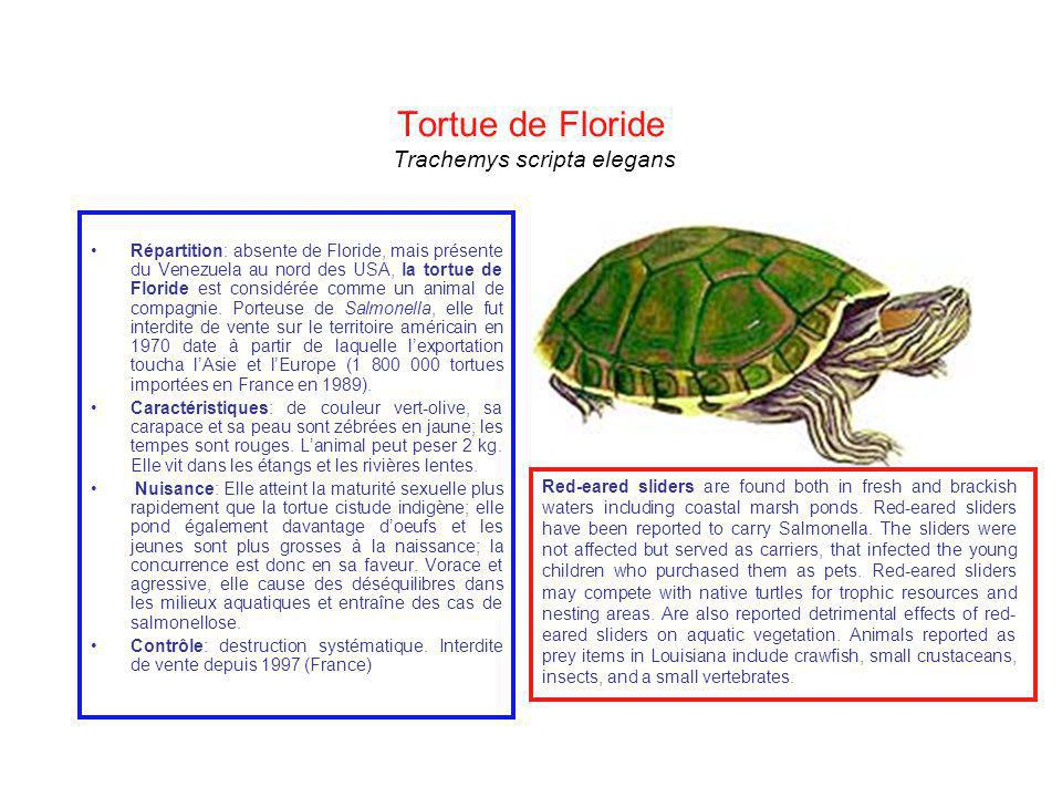 Tortue de Floride Trachemys scripta elegans