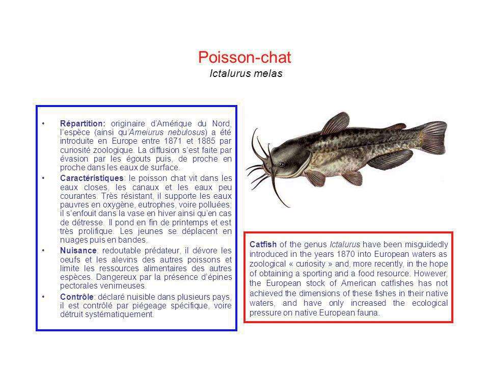 Poisson-chat Ictalurus melas