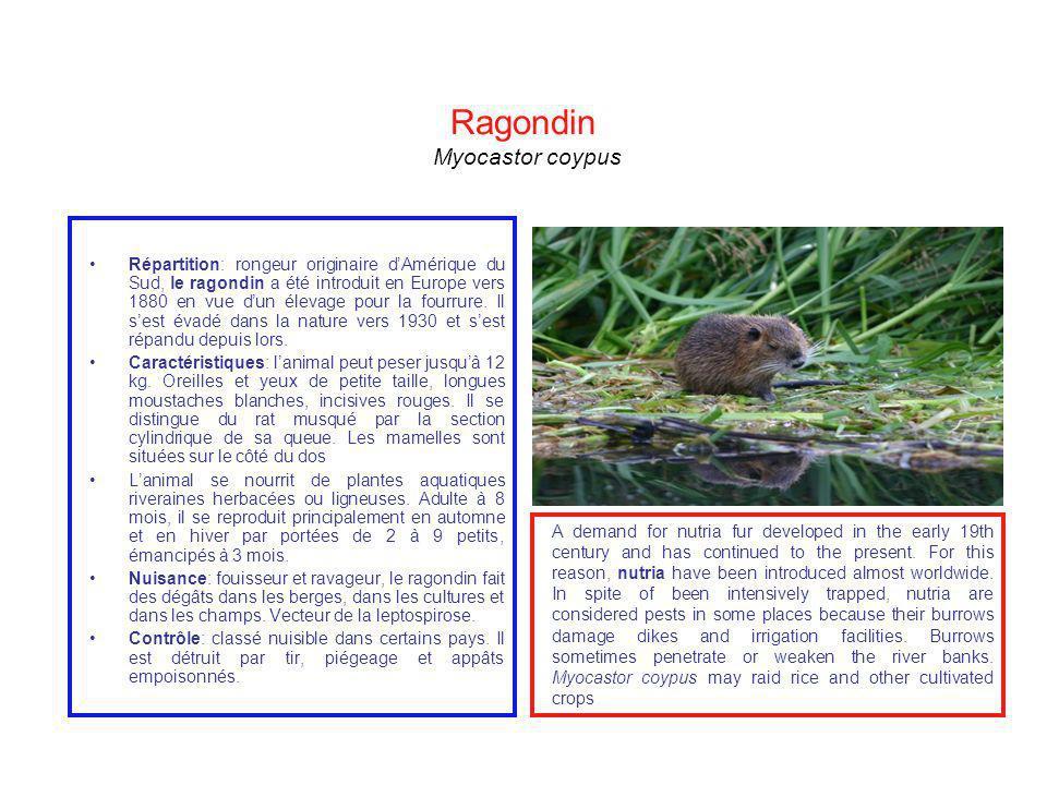 Ragondin Myocastor coypus