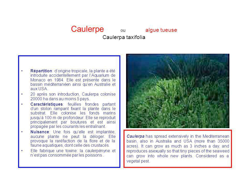 Caulerpe ou algue tueuse Caulerpa taxifolia