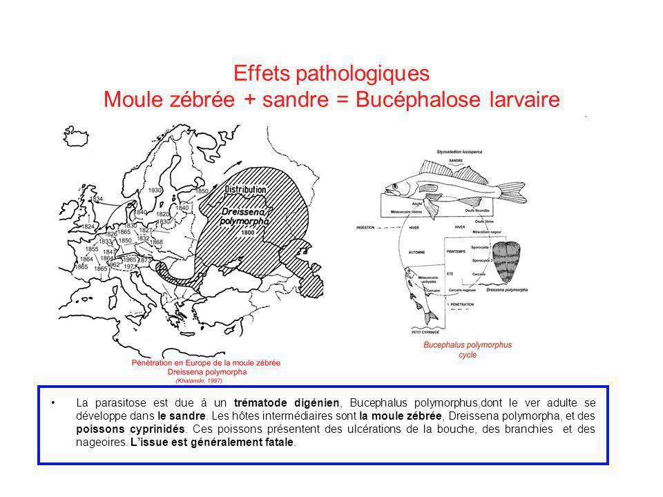 Effets pathologiques Moule zébrée + sandre = Bucéphalose larvaire
