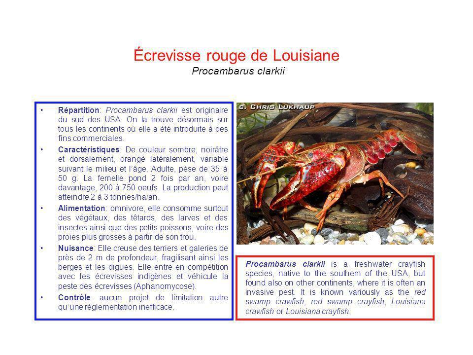 Écrevisse rouge de Louisiane Procambarus clarkii