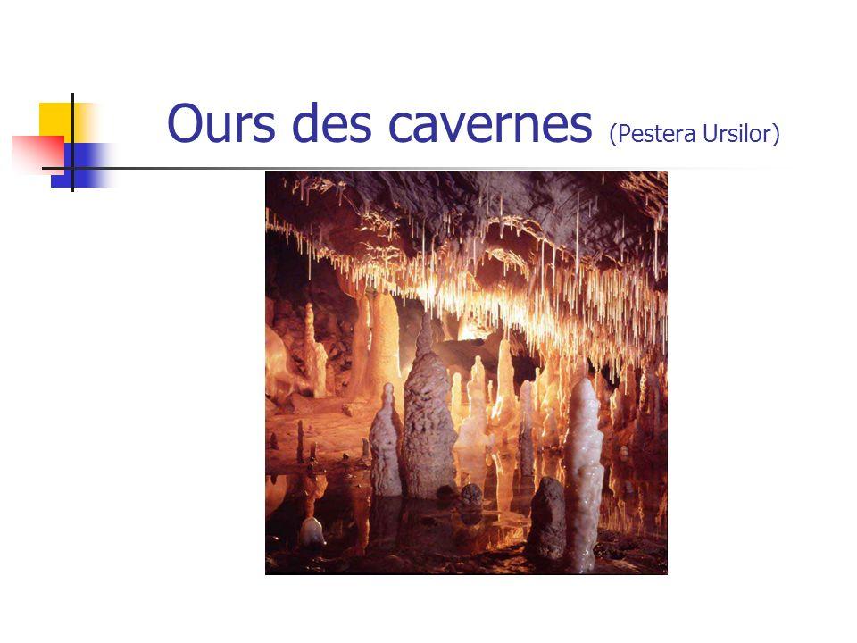 Ours des cavernes (Pestera Ursilor)