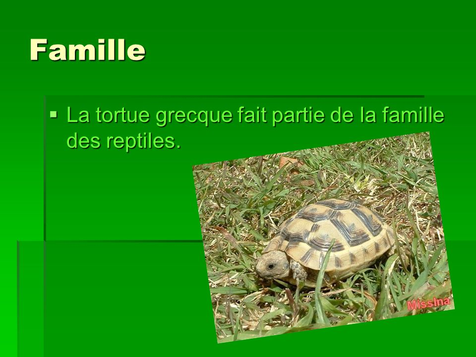 Famille La tortue grecque fait partie de la famille des reptiles.