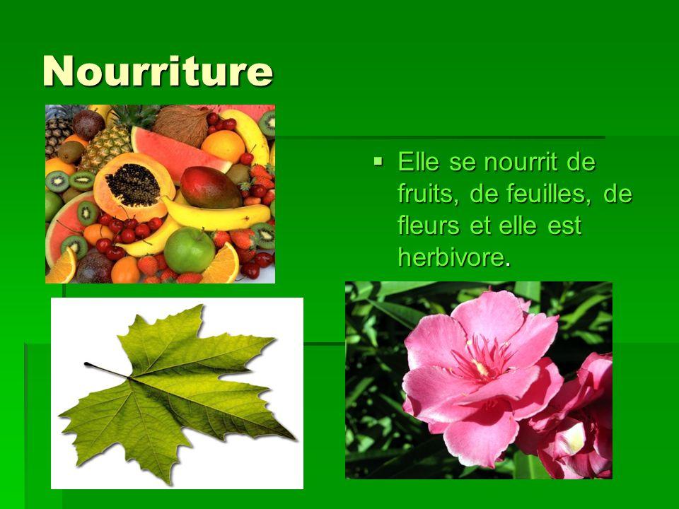 Nourriture Elle se nourrit de fruits, de feuilles, de fleurs et elle est herbivore.