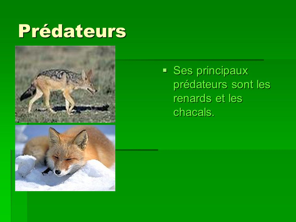 Prédateurs Ses principaux prédateurs sont les renards et les chacals.