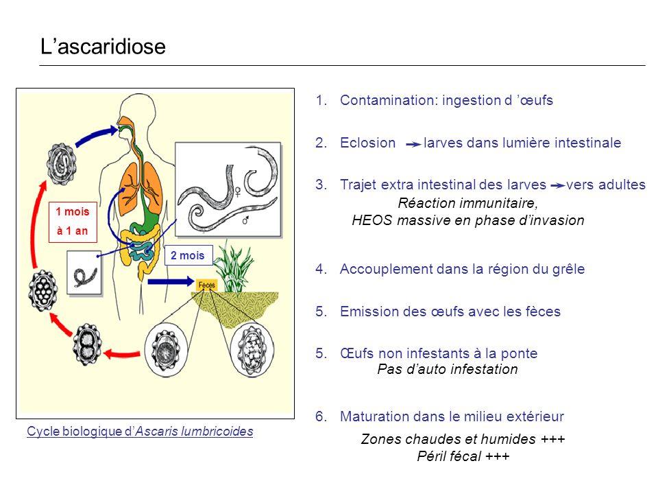 L'ascaridiose Contamination: ingestion d 'œufs