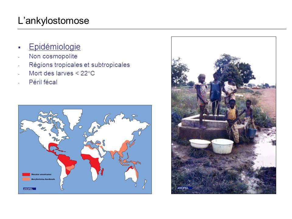 L'ankylostomose Epidémiologie Non cosmopolite