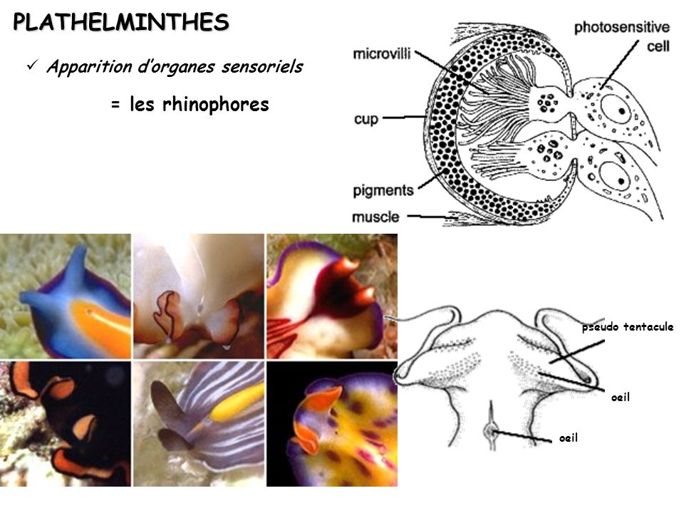 PLATHELMINTHES = les rhinophores Apparition d'organes sensoriels