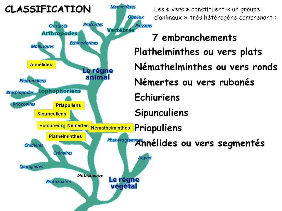 Plathelminthes ou vers plats