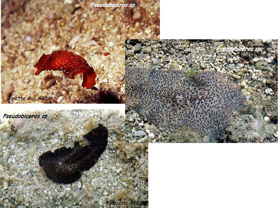 Ginette ALLARD Pseudobiceros sp. Frédéric ANDRE Pseudobiceros sp. Frédéric ANDRE Pseudobiceros sp.