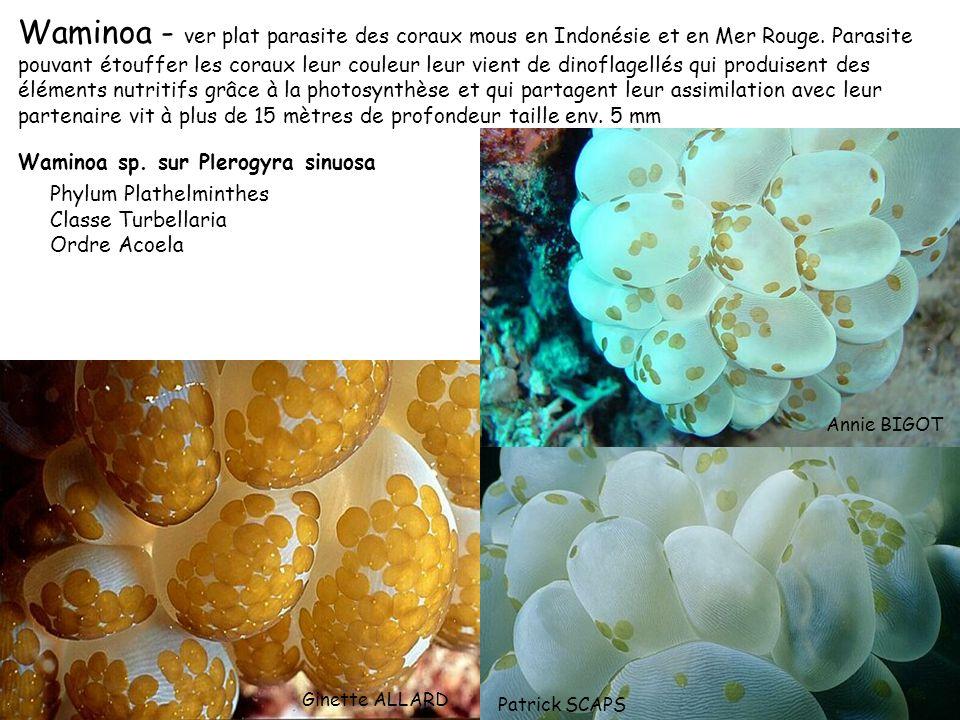 Waminoa - ver plat parasite des coraux mous en Indonésie et en Mer Rouge. Parasite pouvant étouffer les coraux leur couleur leur vient de dinoflagellés qui produisent des éléments nutritifs grâce à la photosynthèse et qui partagent leur assimilation avec leur partenaire vit à plus de 15 mètres de profondeur taille env. 5 mm