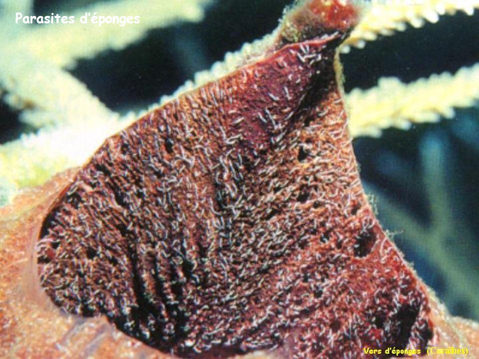 Parasites d'éponges