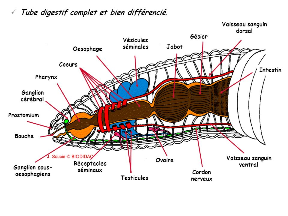 Tube digestif complet et bien différencié.