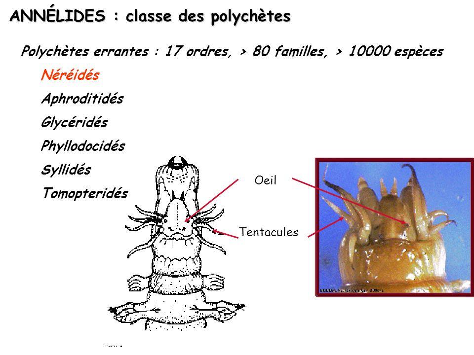 ANNÉLIDES : classe des polychètes