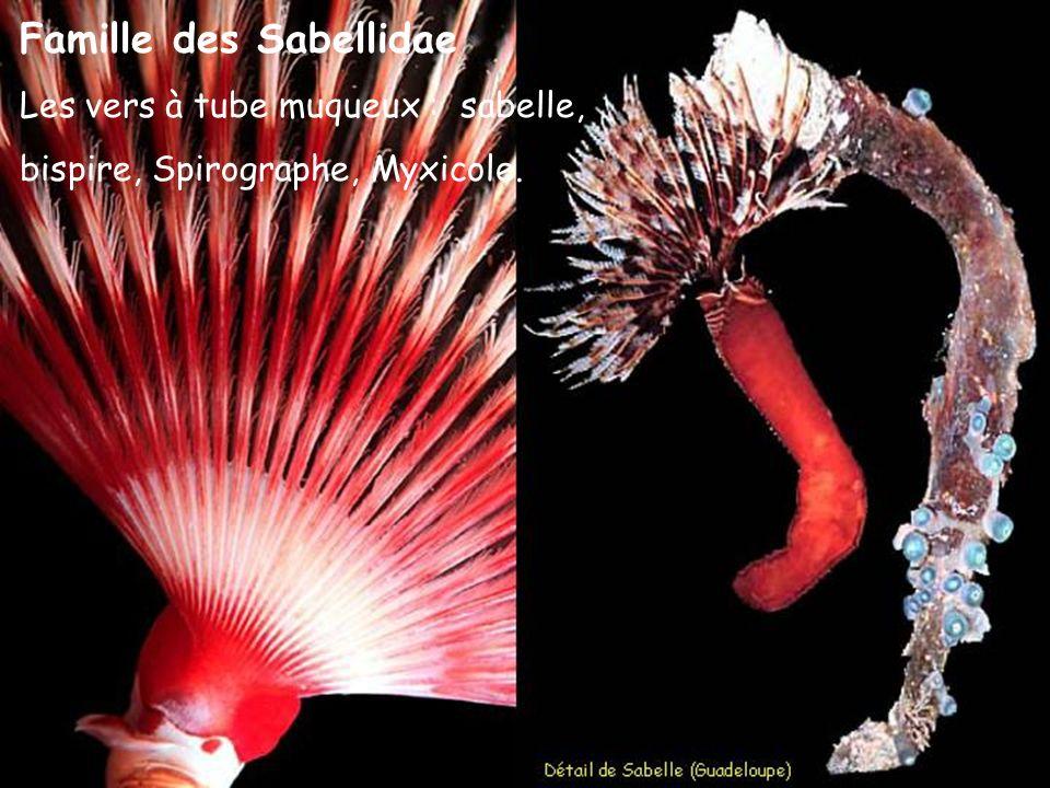 Famille des Sabellidae