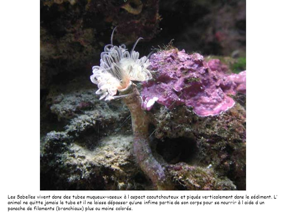 Les Sabelles vivent dans des tubes muqueux-vaseux à l aspect caoutchouteux et piqués verticalement dans le sédiment.