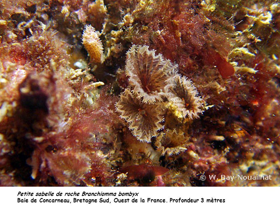 Petite sabelle de roche Branchiomma bombyx