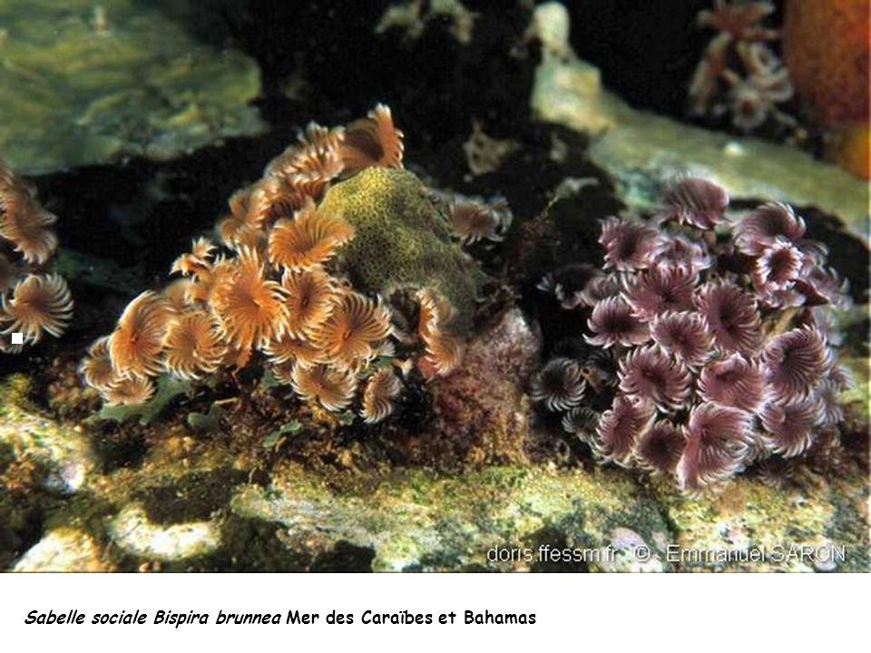 Sabelle sociale Bispira brunnea Mer des Caraïbes et Bahamas