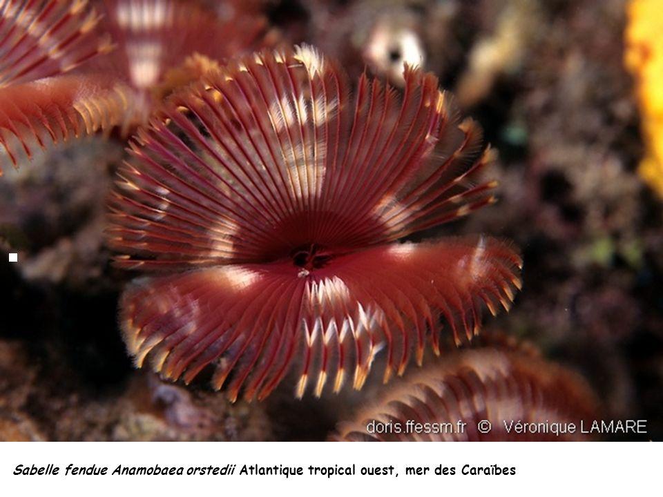 Sabelle fendue Anamobaea orstedii Atlantique tropical ouest, mer des Caraïbes